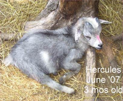 3 month old pygmy goat with tapeworm