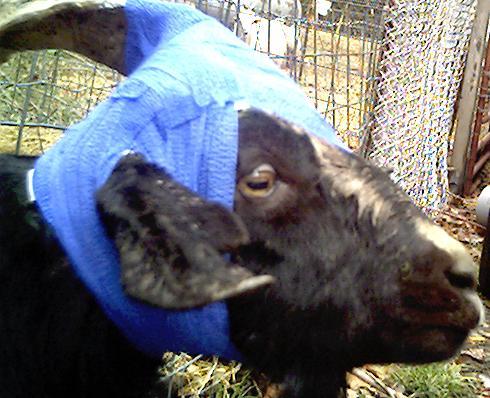 Goat Link Com Broken Goat Horn