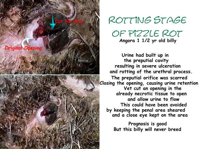 pizzle rot in angora goat