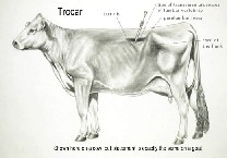 trocar placement diagram for relieving gas from livestock-goats