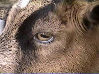 "The ""bottlejaw"" edema has traveled to the eye area in this photo- this goat is suffering from anemia due to coccidiosis"