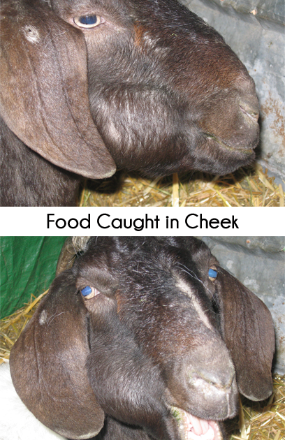 goat will food impacted in cheek - NOT CLA