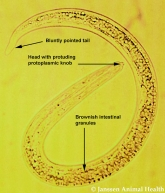lungworm egg