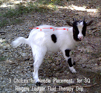 Needle Placement on Goat for SQ Fluid Therapy