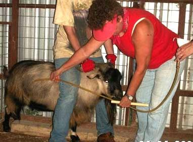 Tubing an Adult Goat